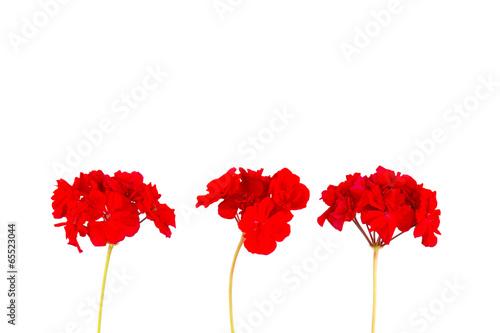 Fotomural red geranium flower