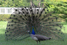 Male Peacock Showing Tail Feathers To Female