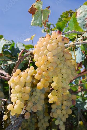 Vineyard witte druiven