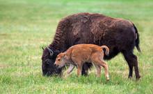 Buffalo Cow And A Calf