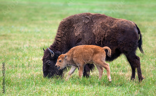 Photo Stands Bison Buffalo cow and a calf