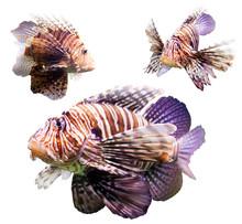 Set Of  Red Lionfish
