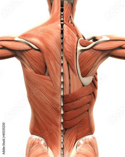 Fotografie, Tablou  Muscular Anatomy of the Back