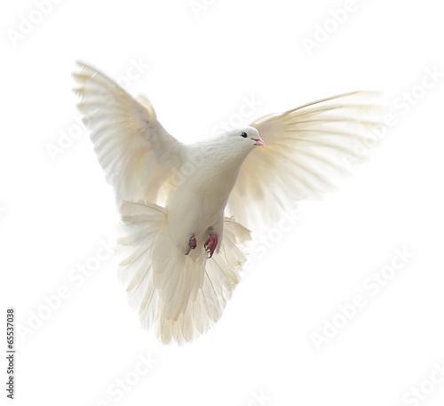Valokuva  white dove