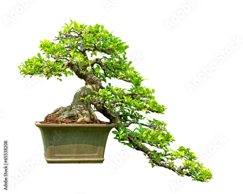 Foto op Canvas Bonsai bonsai tree isolated on white background
