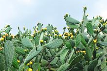 Chumbera Con Flores En Primavera, Nopal, Cactus