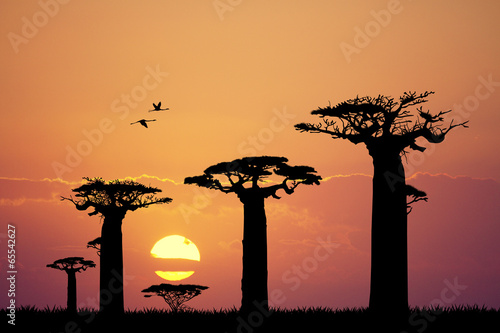 Stampa su Tela baobab silhouette at sunset