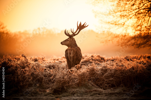 Photo Red Deer in Morning Sun.