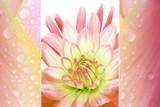 Triple - Dahlie und Tulpenblüten mit Tropfen