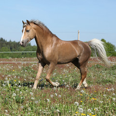 Gorgeous stallion running on spring pasturage