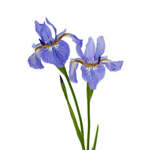 Blue Iris Isolated On White Background