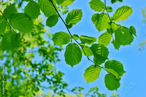 Photo Alder leaves