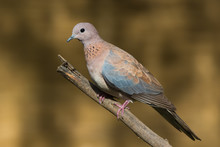 Laughing Dove (Stretopelia Senegalensis) Perched On A Branch
