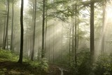Sunrise in the spring beech forest after rainfall - 65577636