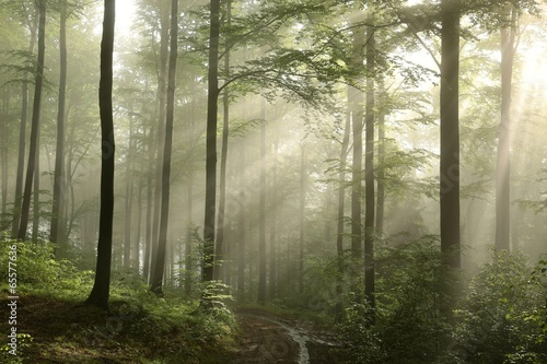 Fototapeten Wald Sunrise in the spring beech forest after rainfall