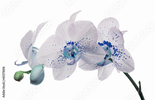 orchid flowers with large and small blue spots