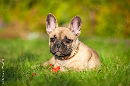 Deurstickers Franse bulldog French bulldog puppy playing with a flower