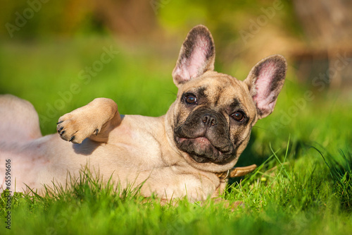 Poster Franse bulldog French bulldog puppy lying on the lawn