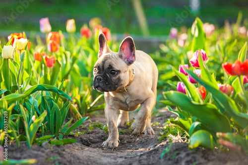 French bulldog puppy walking in flowers