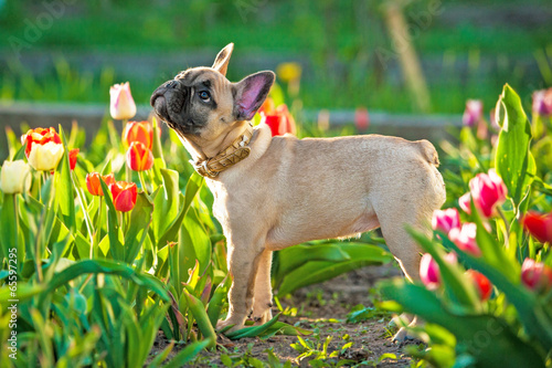 Fotobehang Franse bulldog French bulldog puppy standing in flowers
