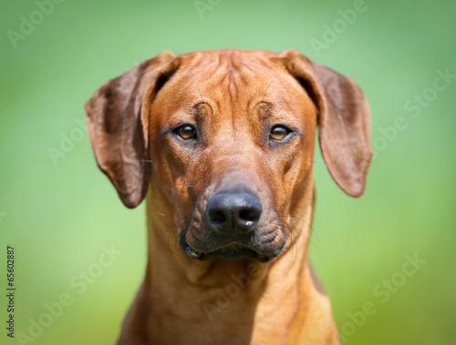 Photo  Rhodesian rigdeback dog