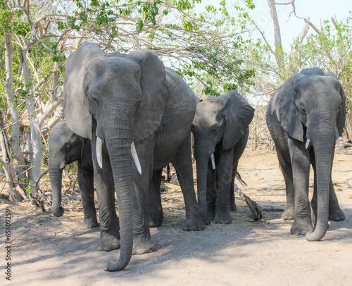 Canvas Prints Elephant Elephants walking in chobe park, Botswana