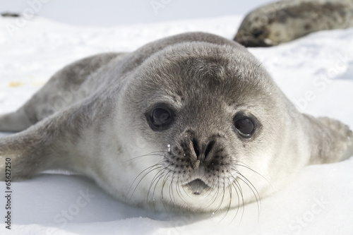 Spoed Foto op Canvas Natuur Weddell seal pups on the ice of the Antarctic Peninsula 1