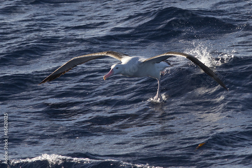Valokuva  wandering albatross taking off from the surface of the water