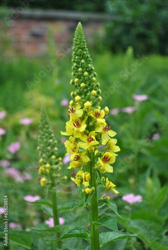 Agrimony Latin name Agrimonia eupatoria in flower Canvas Print