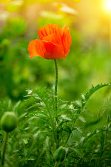 Fototapetapoppy flower