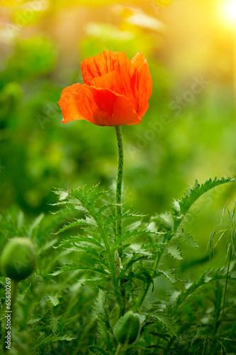 poppy flower - 65630269
