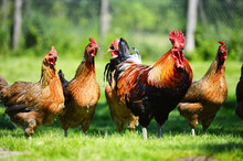 Chickens On Traditional Free R...