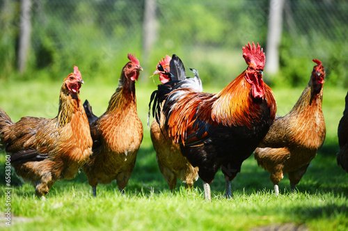 Foto  Chickens on traditional free range poultry farm