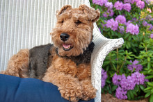Welsh Terrier In A Garden