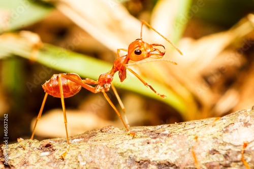 Photo  Red weaver ant