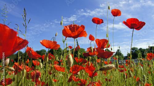 Canvas Prints Poppy springtime