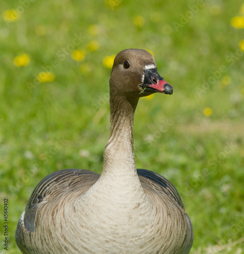 Photo  Pink-footed Goose