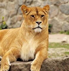 Fototapeta na wymiar Lioness.