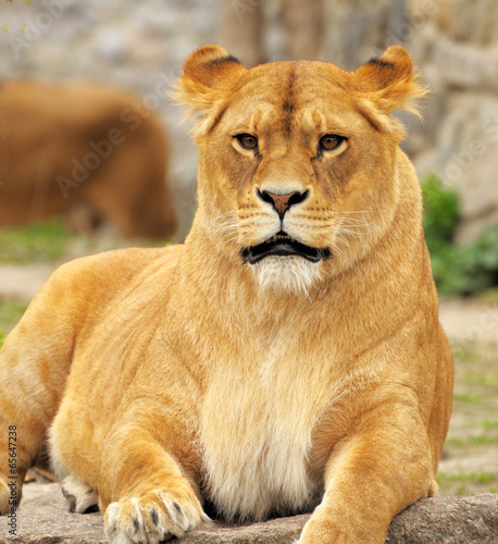 Fotobehang Leeuw Lioness.