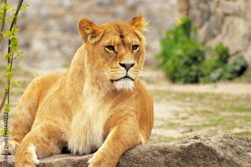 Fotografie, Obraz  Lioness.