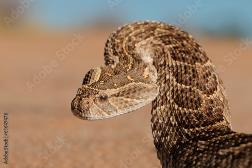 Defensive puff adder Canvas Print