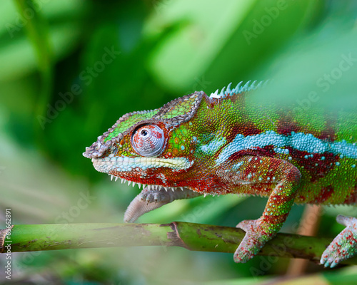 In de dag Kameleon Green chameleon
