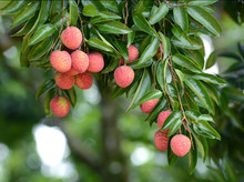 Fresh Lichi On Tree