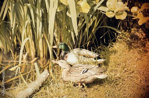 Fotografie, Obraz  Nostalgie Stockentenpaar