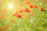 Poppy flowers, outdoors