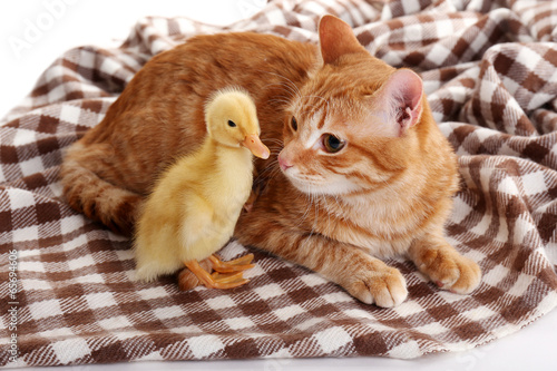 Red cat with cute duckling on plaid close up