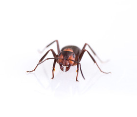 ant isolated on white background.