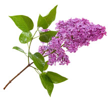 Purple Lilac Branch Isolated On White