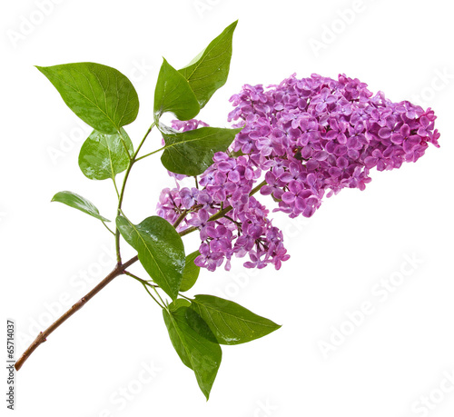 Foto op Plexiglas Lilac purple lilac branch isolated on white