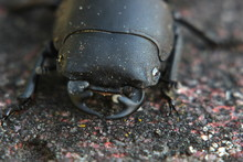 Macro Of A Female Stag Beetle ...